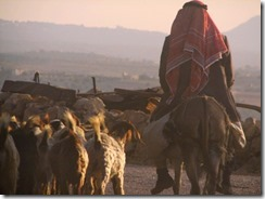 shepherd with sheep - freeimages