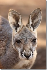Kangaroo by Mike Lewis on Flickr 160x240