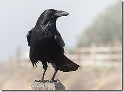 Visit-from-a-Raven-Corvus-corax-by-Ingrid-Taylar-on-Flickr_thumb.jpg
