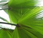 palms by fullerya on flickr 150x133